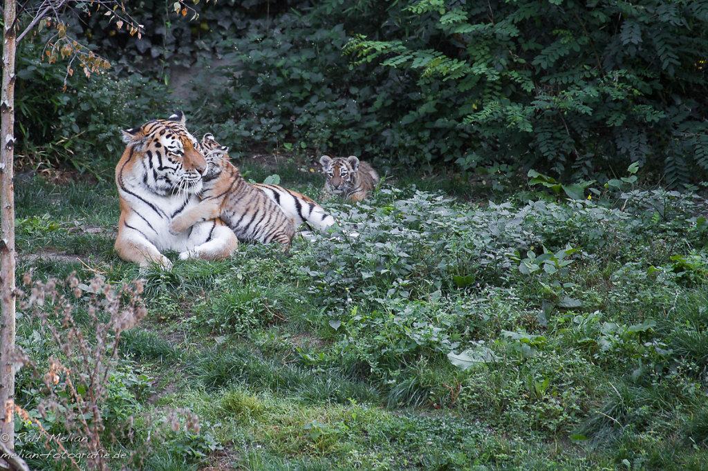 Tigermama und Babies